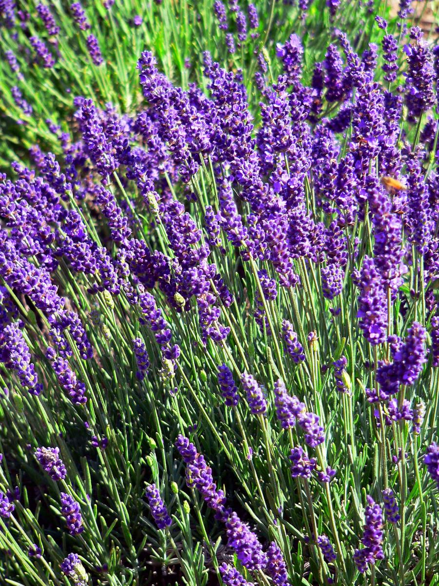 A LAVENDER AND WINE EXPERIENCE: JULY 23 AT RAMONA RANCH ...