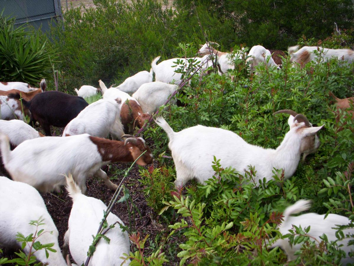 getting their goats homeowners hire four footed brush clearing crew