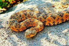 rattlesnake-wrangled-sm.jpg