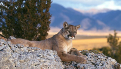 Mountain Lions East County Magazine