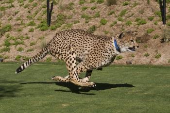 see spots run san diego zoo safari park s cheetah run opens july
