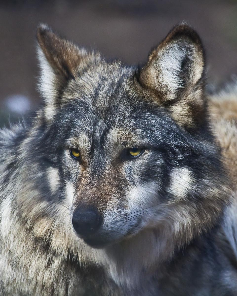 Mexican Gray wolves | East County Magazine
